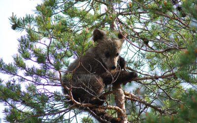 Enligt länsstyrelsen Dalarna är det fortsatt oklart hur många björnar det egentligen finns i länet.