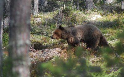 Björntilldelningen höjs kraftigt i Jämtlands län.