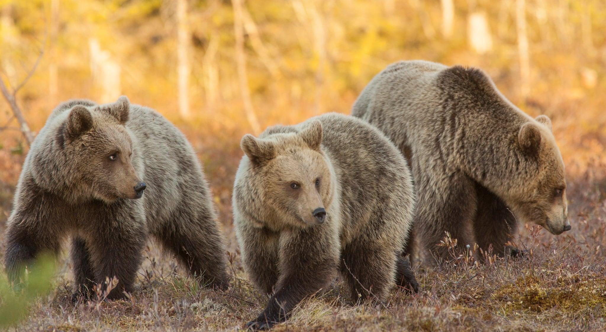Björnstammen i Gävleborg är betydligt större än vad länsstyrelsen beslutat att den ska vara.