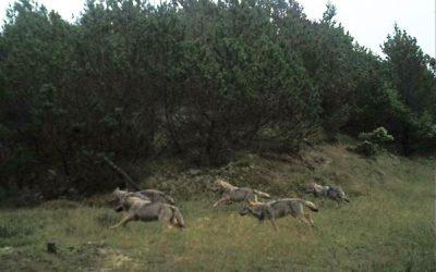 Fem av de åtta stora vargvalparna på Jylland fångades på bild av en viltkamera i oktober 2017. Då var kullen fortfarande samlad. Foto: DCE/Naturhistorisk museum
