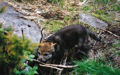Skandulvs forskare har under våren tittat på vargvalpar i fyra svenska vargrevir.