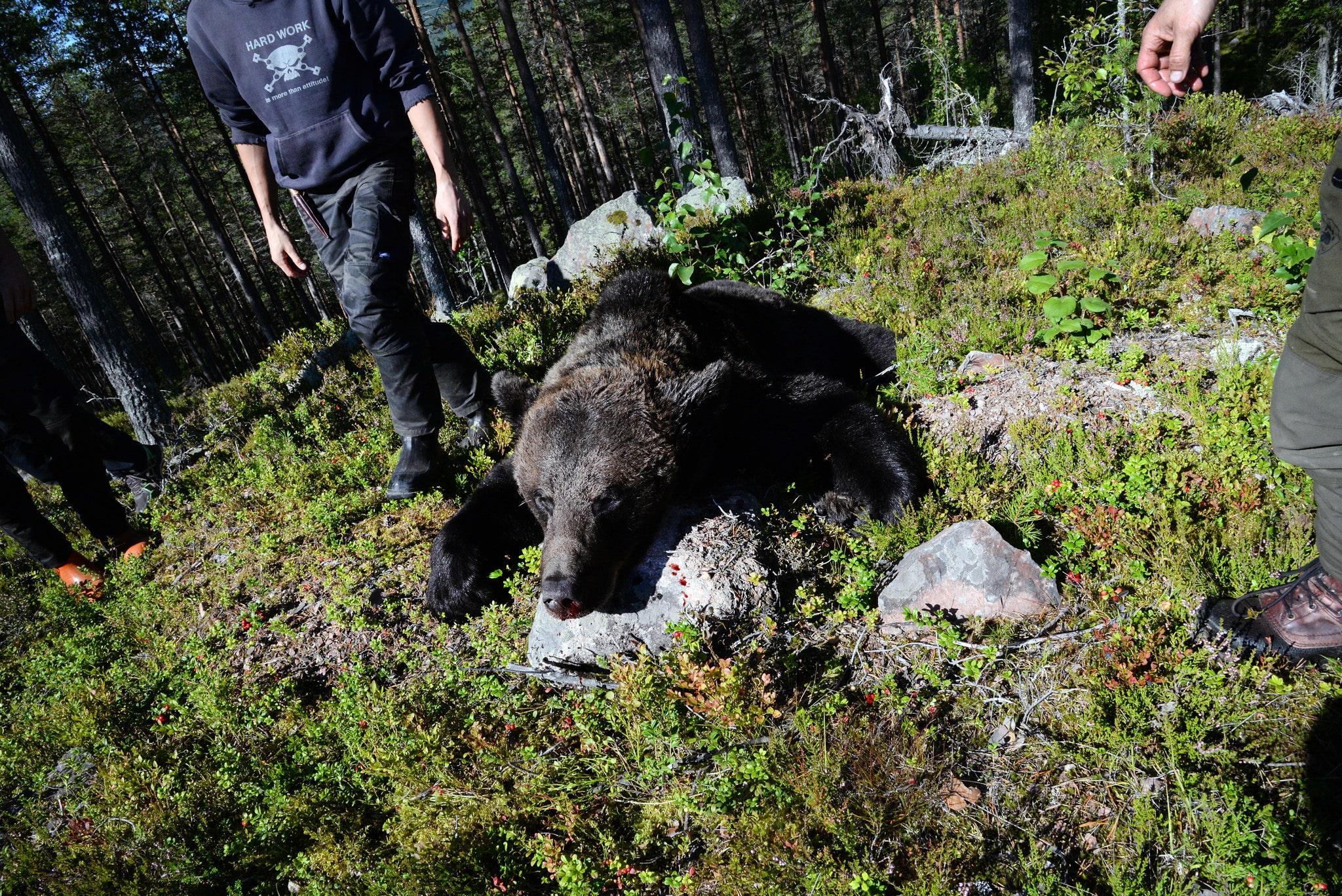 Björnjakten är redan avslutad inom Dalarnas delområde 2.