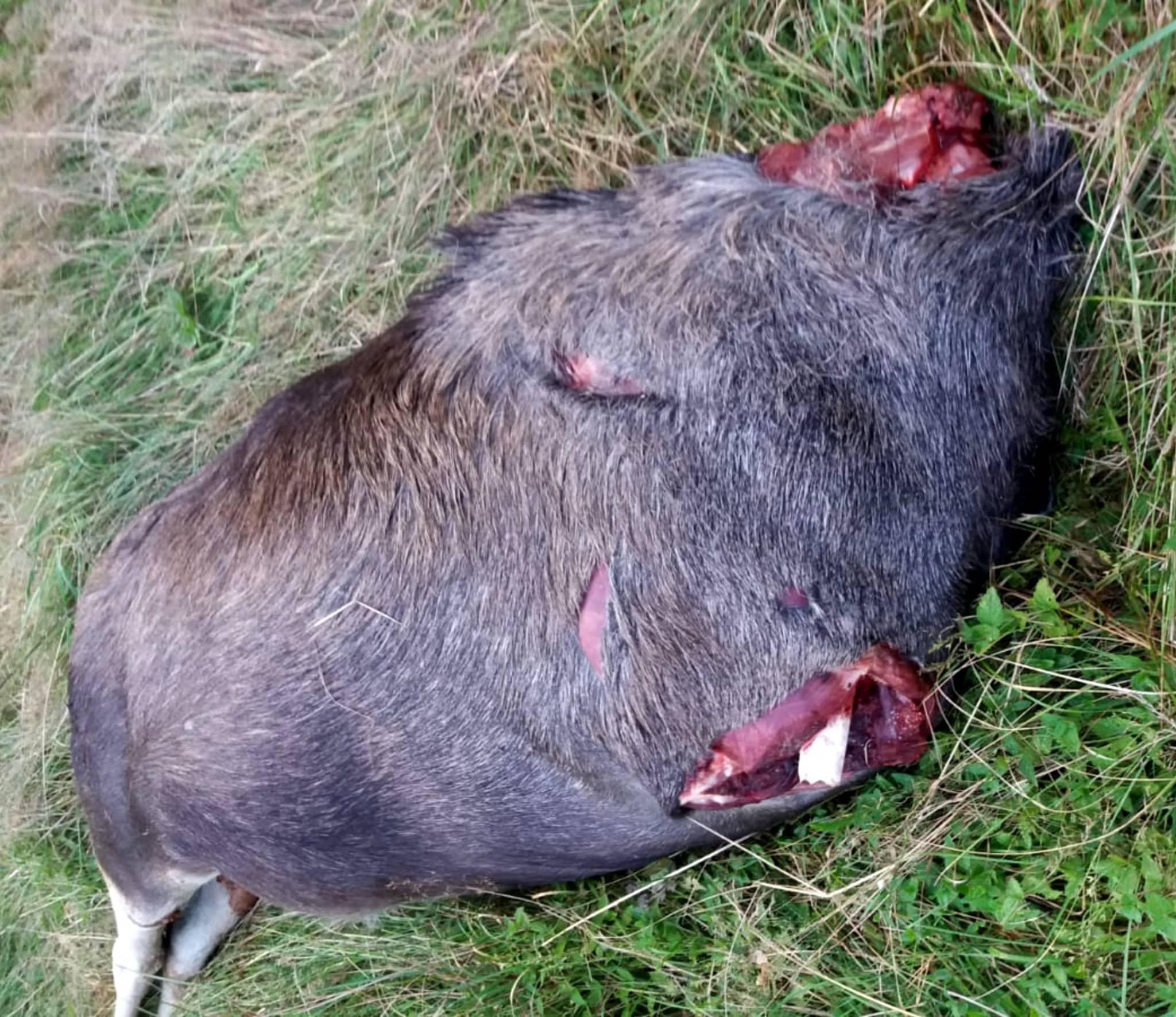 Här har någon verkligen ansträngt sig för att få med den trafikdödades älgtjurens huvud och båda frambenen. Foto: Privat