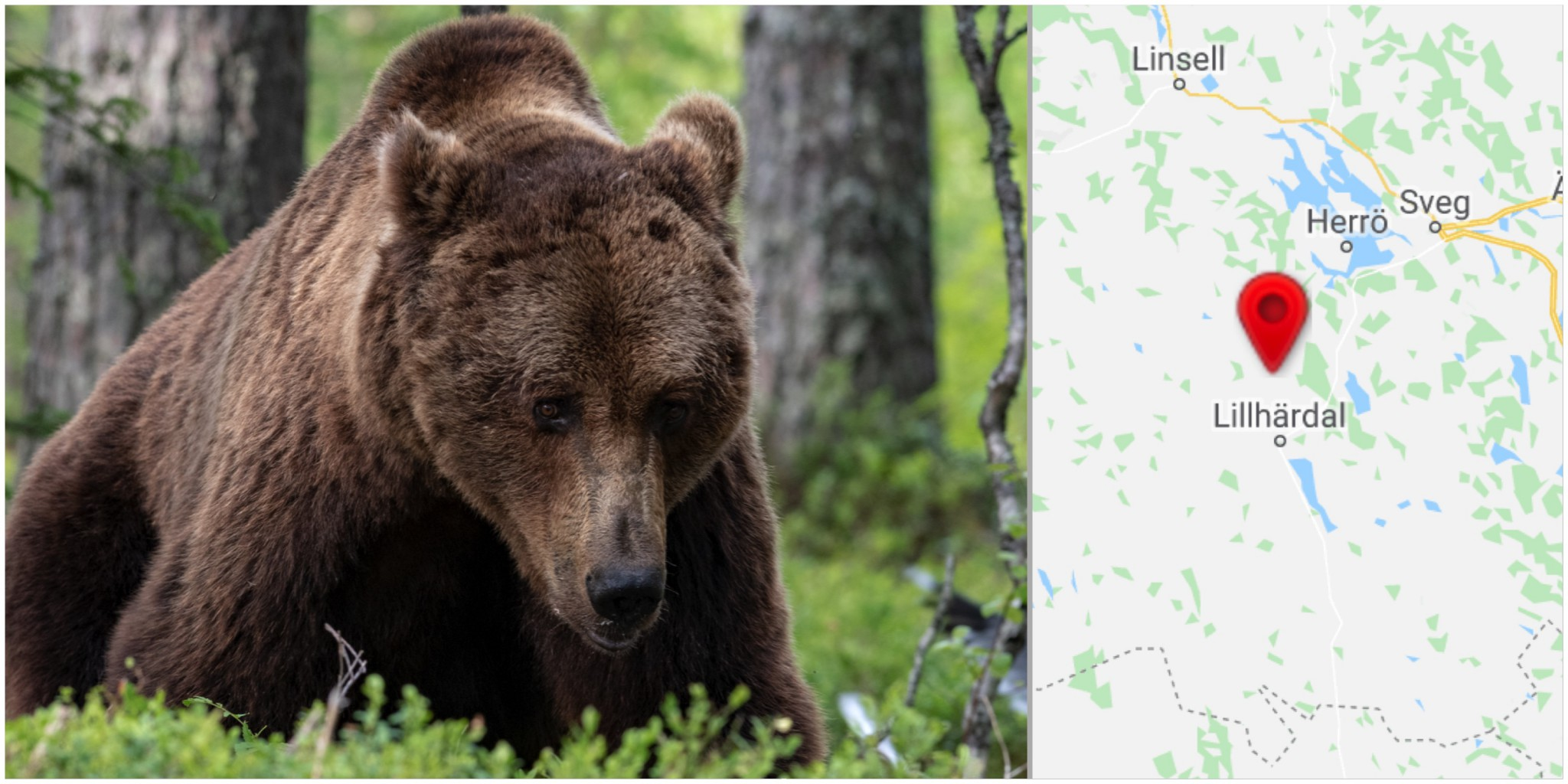 It was in connection with the hunting in Lillhärdal because the hunter had been wounded by a bear.