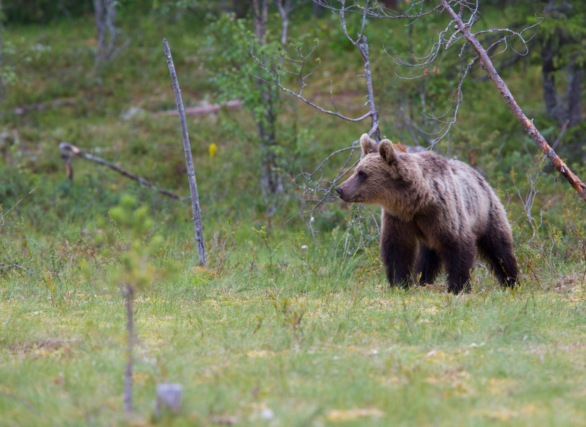 Licensjakten på björn inleddes den 21 augusti. Foto: Mostphotos