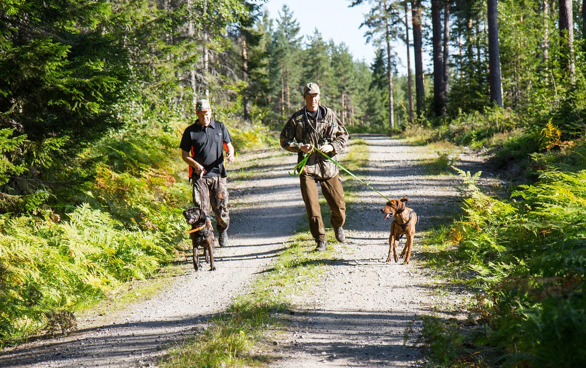 Det är dags för björnjägarna i den västra delen av Gävleborgs län att göra patron ur.