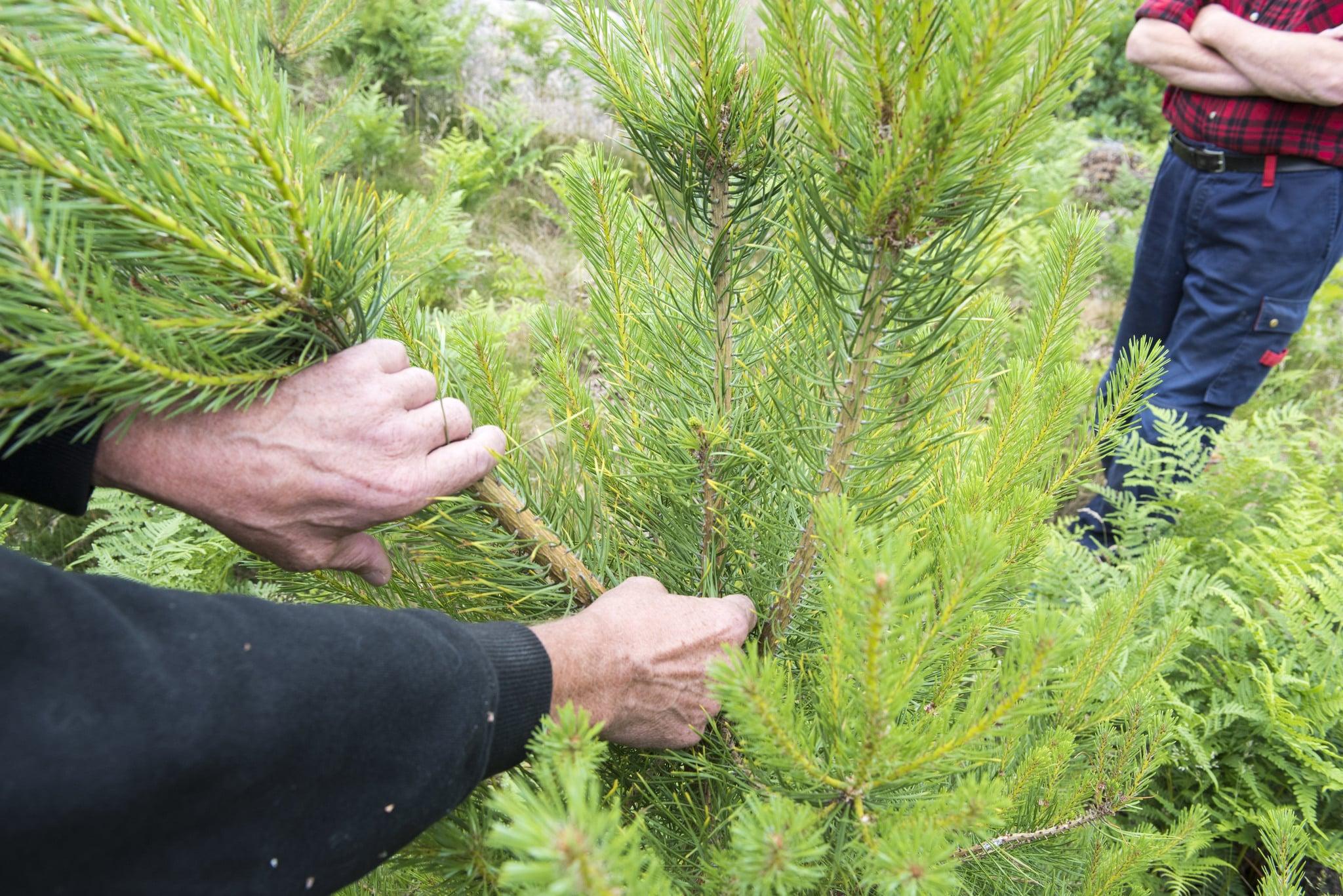 Åkomman som gör att tallplantor skjuter många toppskott är mindre utbredd än befarat, enligt Skogsforsk som inventerat förekomsten i södra Sverige.