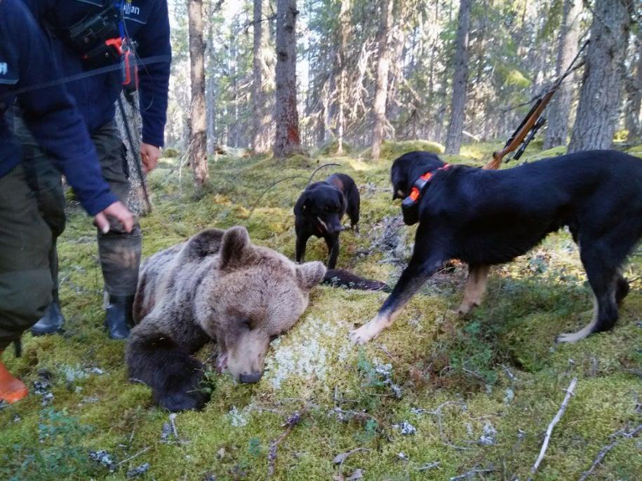 Smålandsstövarna Svarten och Panter vid den skjutna björnhanen.