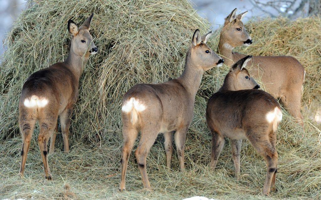En vanlig syn om vintern ett vanligt år. Efter torkan blir det emellertid mycket svårt för jägarna att få köpa ensilage till viltfoder.