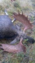 Den här guldtjuren fällde pappa Thomas Björnudd i 50 meter från sonen Albins tjur.