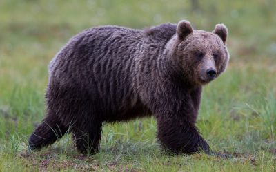 Årets licensjakt på björn är avslutad i hela landet.