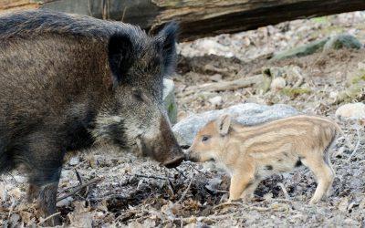 En jakt på råbock slutade med en både vådlig och ofrivillig närkontakt med en vildsvinssugga och hennes kultingar.