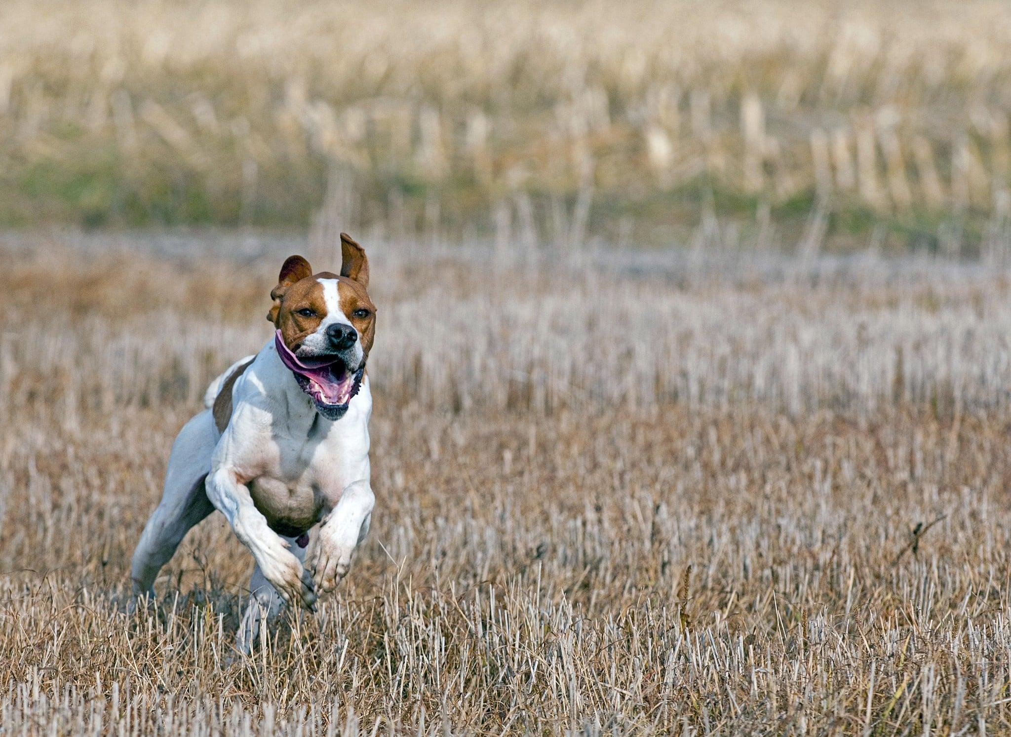 Jakten ställer hårda krav på hunden. För att klara dessa uppgifter krävs en väl sammansatt kost, så att hundens näringsbehov tillgodoses. Foto: Jan Henricson