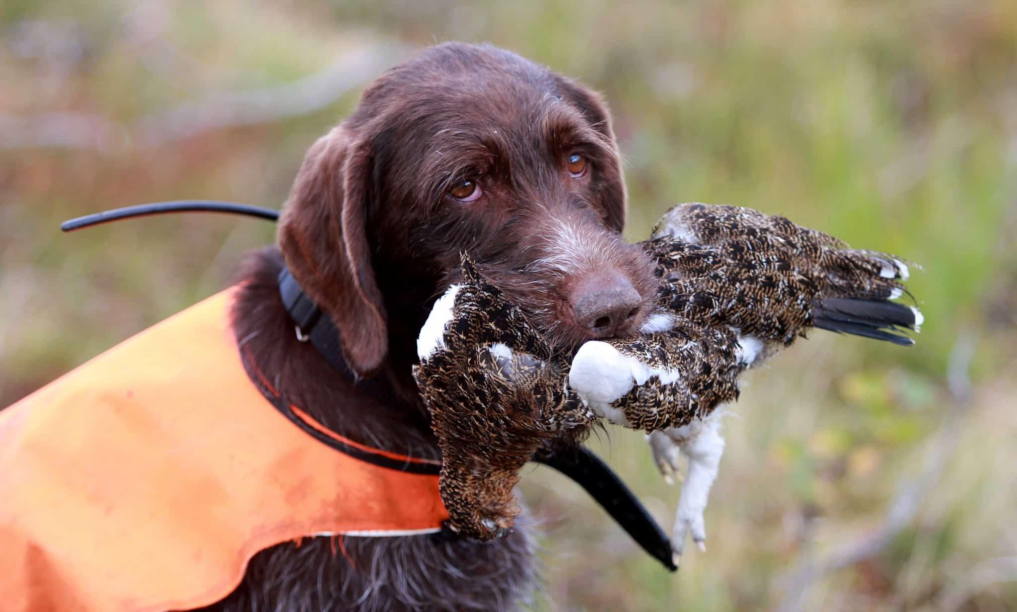 Landinarnas Daisy är redo för ripjakt. En jakt som kräver det lilla extra både av jägare och hund.