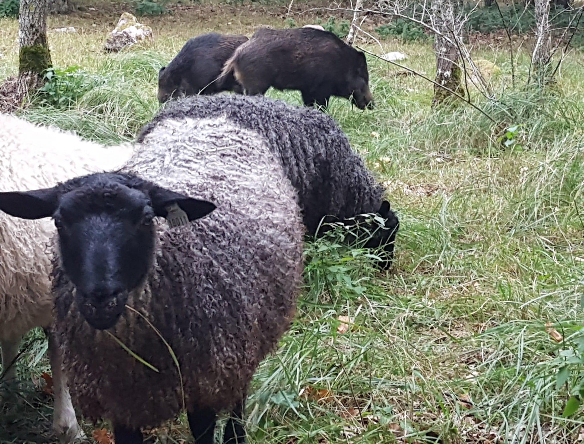 I tio dagar gick får och vildsvin i samma hage. Foto: Paul Eknöland