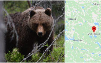 En älgjägare tvingades skjuta en attackerande björn. Foto: Johnny Olsson