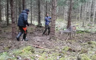 Stillbild från filmen när dovhjorten räddas av jägare.