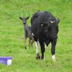Spetshjorten i hagen har fattat särskilt tycke för den här kon som han följer hack i häl.