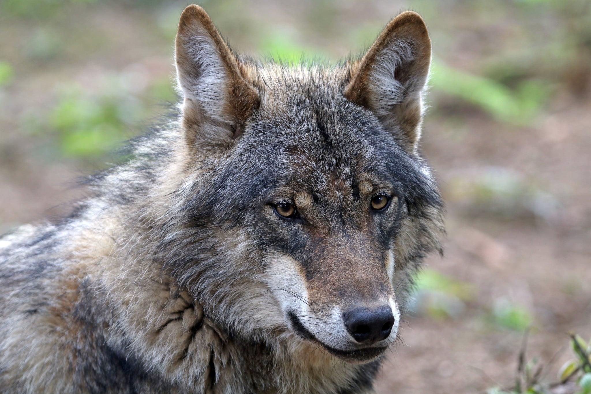 Vargfrågan är den viktigaste jaktfrågan för den kommande regeringen att ta tag i, anser besökarna hos Svenskjakt.se