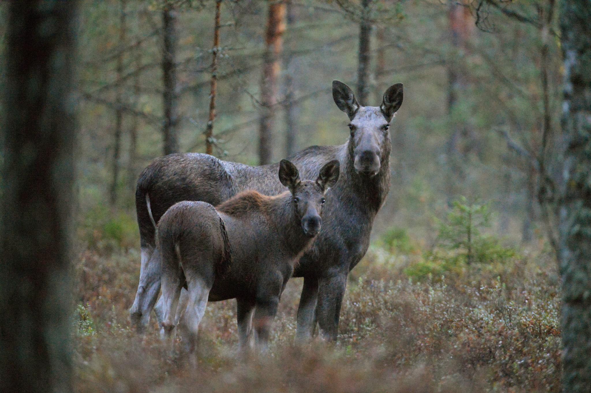 Enligt älgobsen efter de första dagarnas jakt i landets södra hälft pekar reproduktionen nedåt i många län.