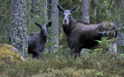 Älgkalvarna rasar i vikt i Götaland. Hösten 2000 var medelslaktvikten på en kalv 65 kilo. Den här hösten är siffran nere på 52 kilo.