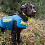 Agria rekommenderar att alla jakthundar som jagar vildsvin ska bära skyddsväst.