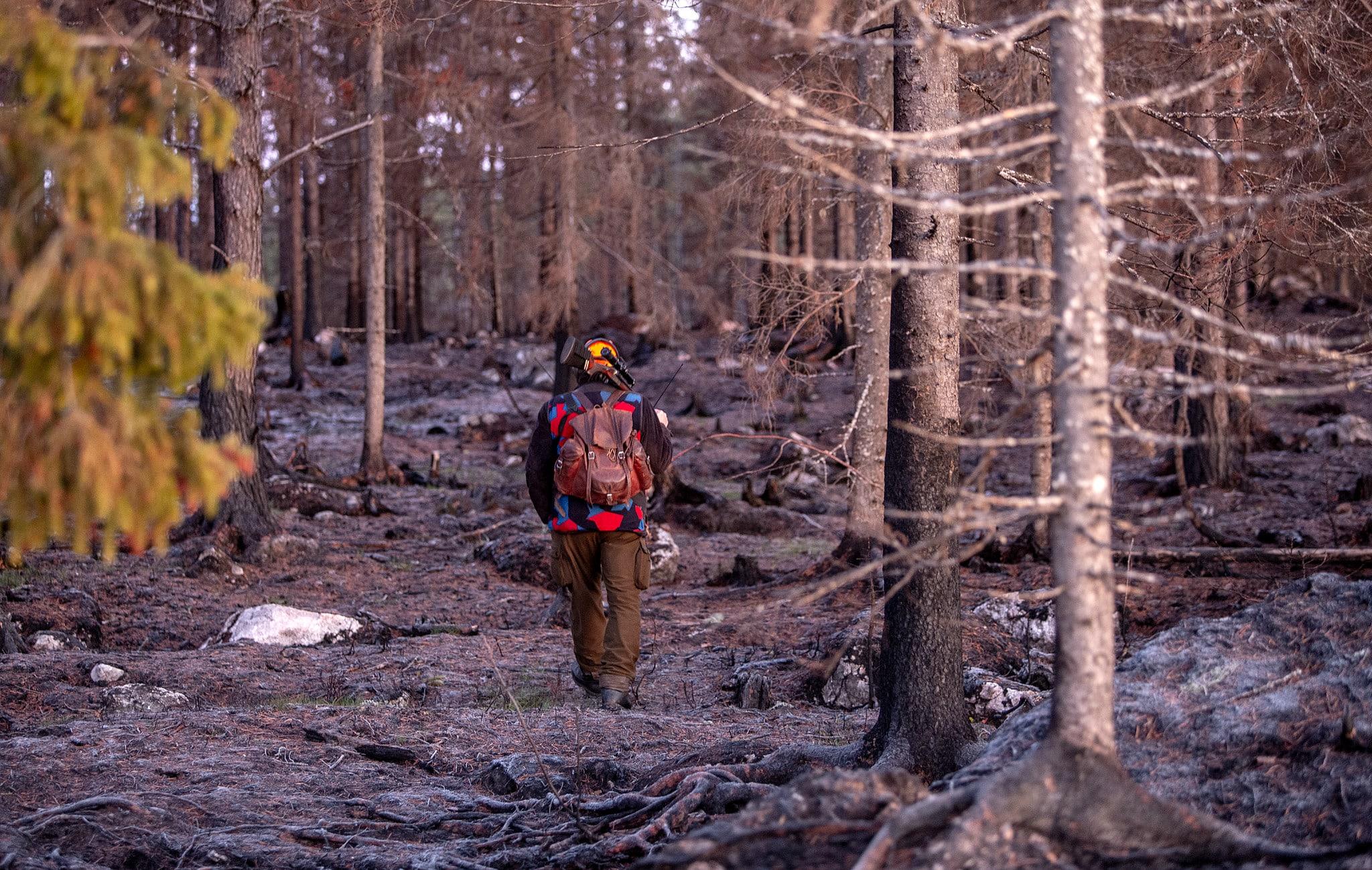 Älgjakten har redan kunnat inledas i de hårdast drabbade brandområdena i Hälsingland.