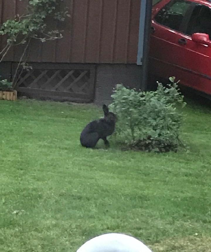 Svarta harar har under ett par års tid visat sig i trädgårdarna i området. Foto: Privat