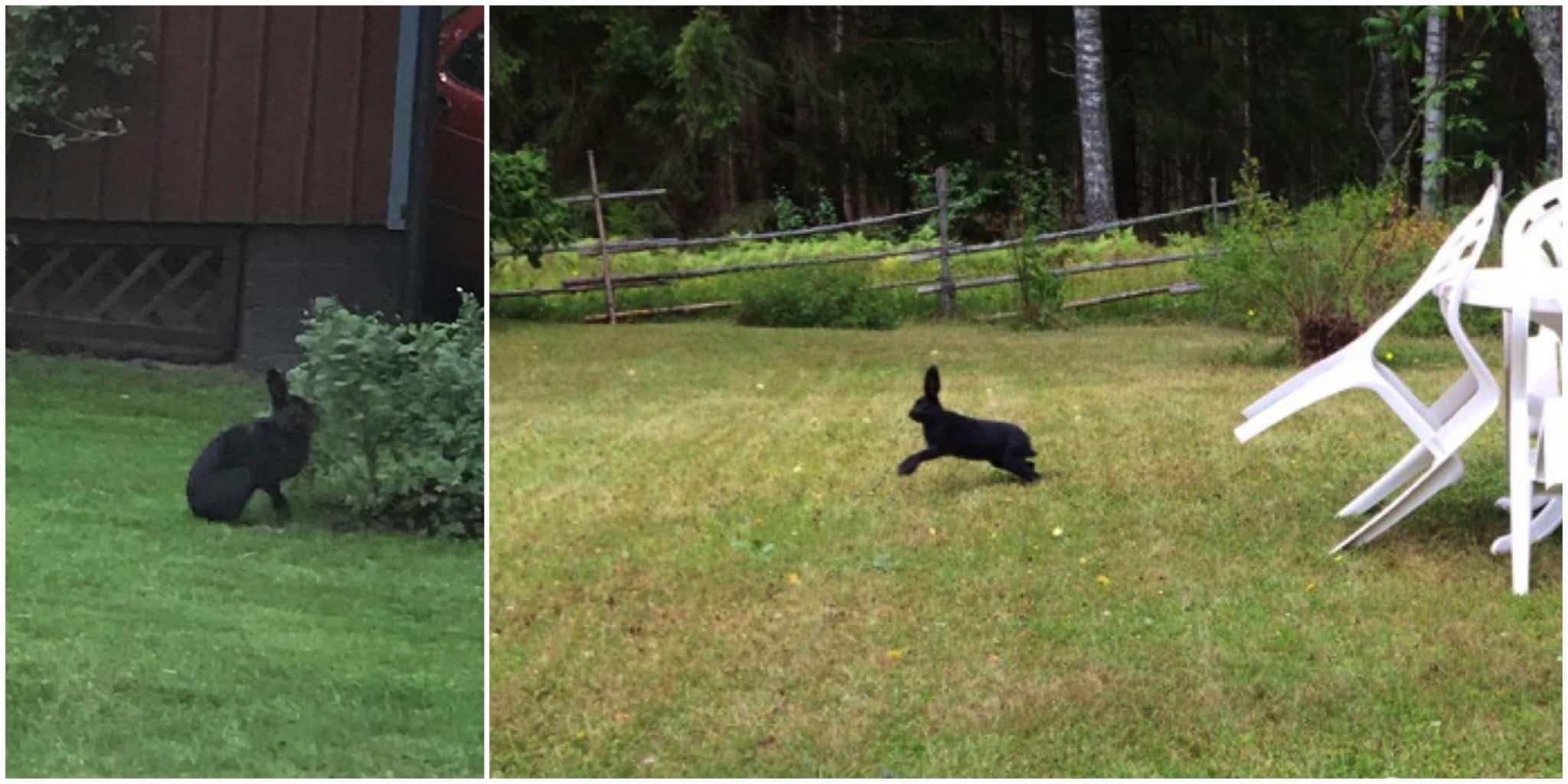 Svarta harar. Foto: Privat