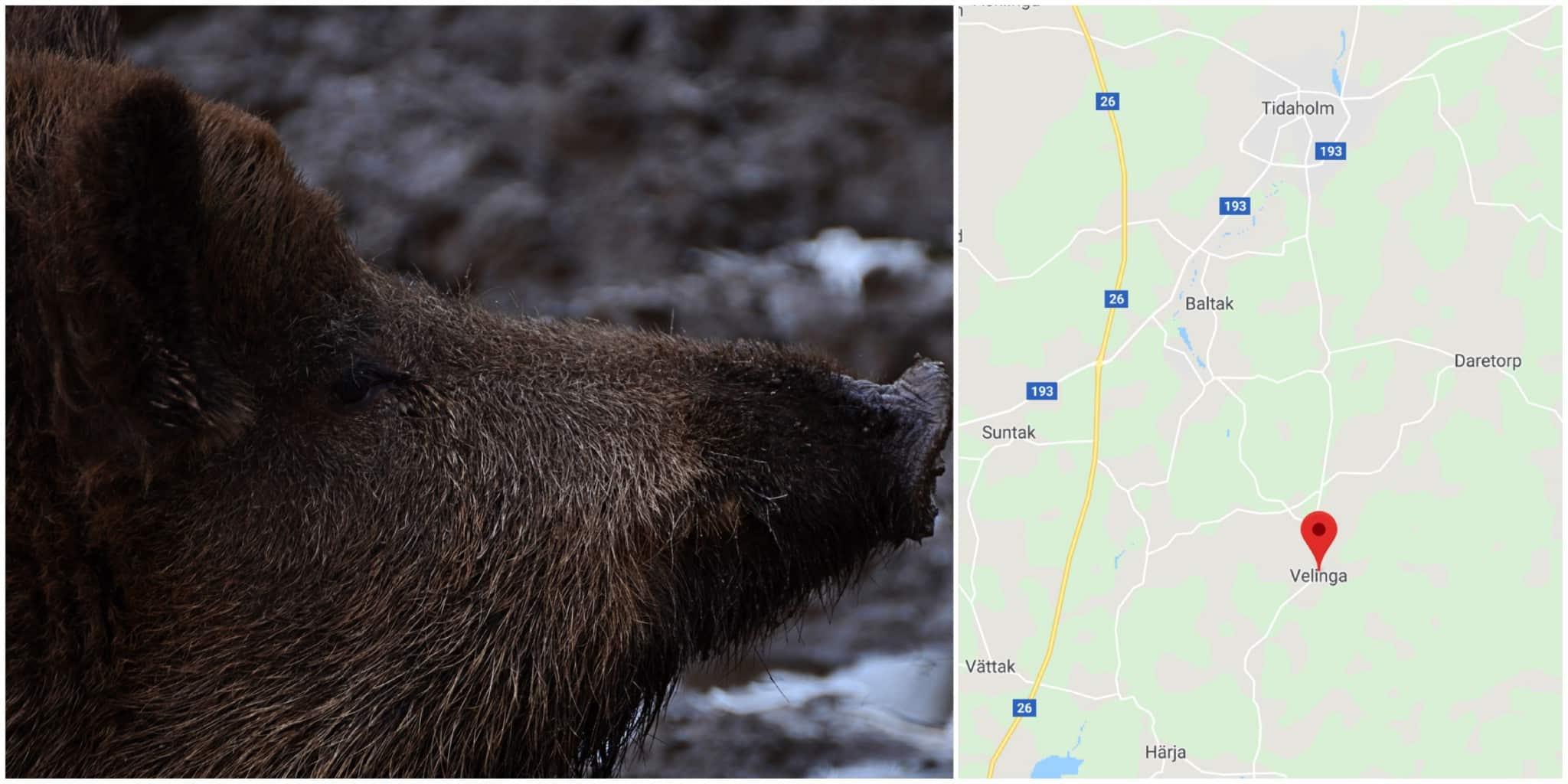 En jägare har skadats svårt av ett attackerande vildsvin. Foto: Mostphotos