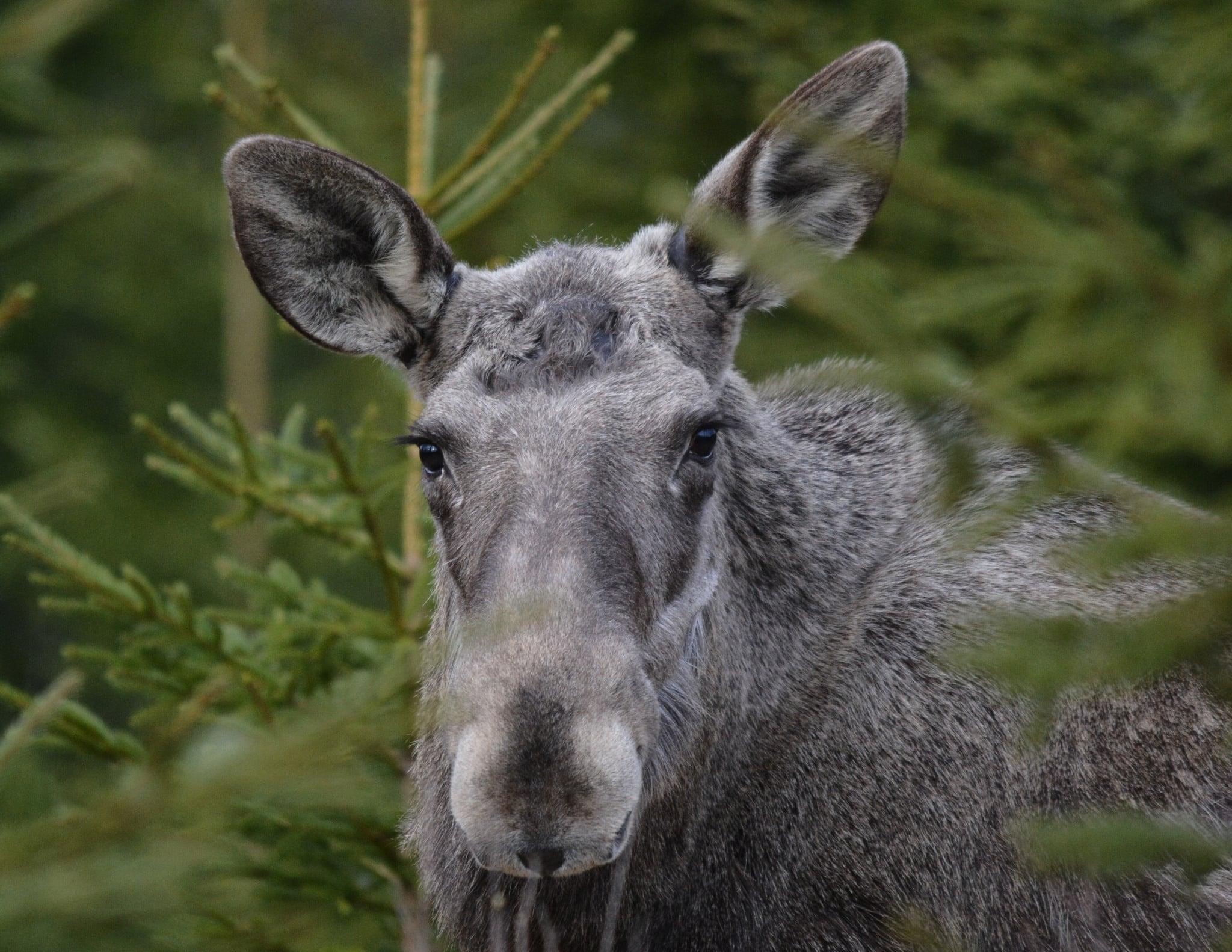 Naturvårdsverket anser att det är angeläget att minska betesskadorna i skogen.
