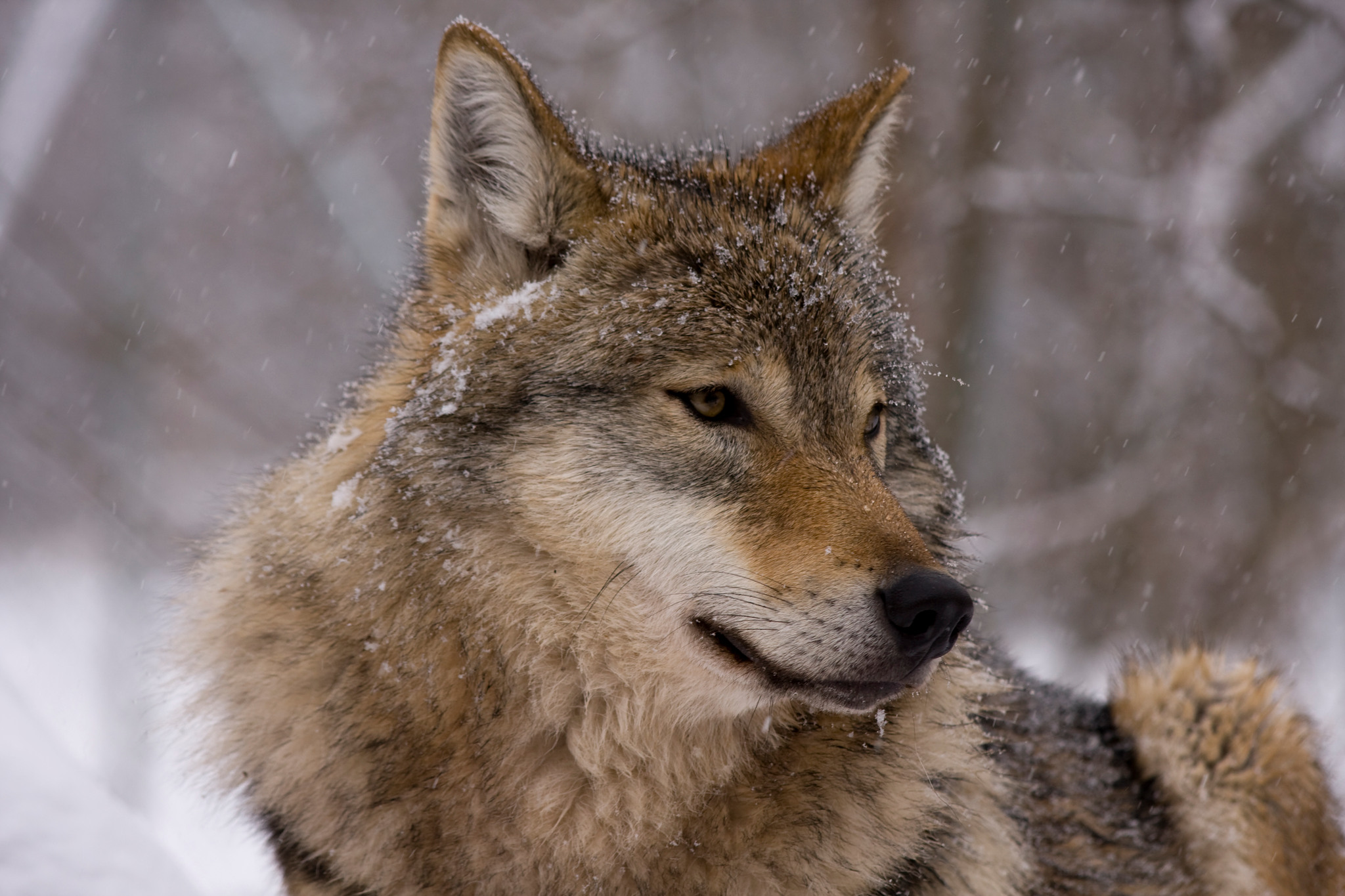 I rovdjurens spår är inget annat än en partsinlaga för alla dem som tjänar pengar på vargförekomsten, anser debattören. Foto: Mostphotos