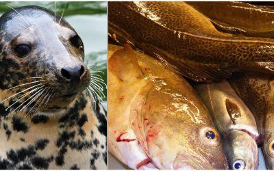 Forskarna vid Stockholms universitet anser att miljöförändringar och fiske har reducerat torskpopulationen mer än av vad sälarna gjort. Foto: Mostphotos