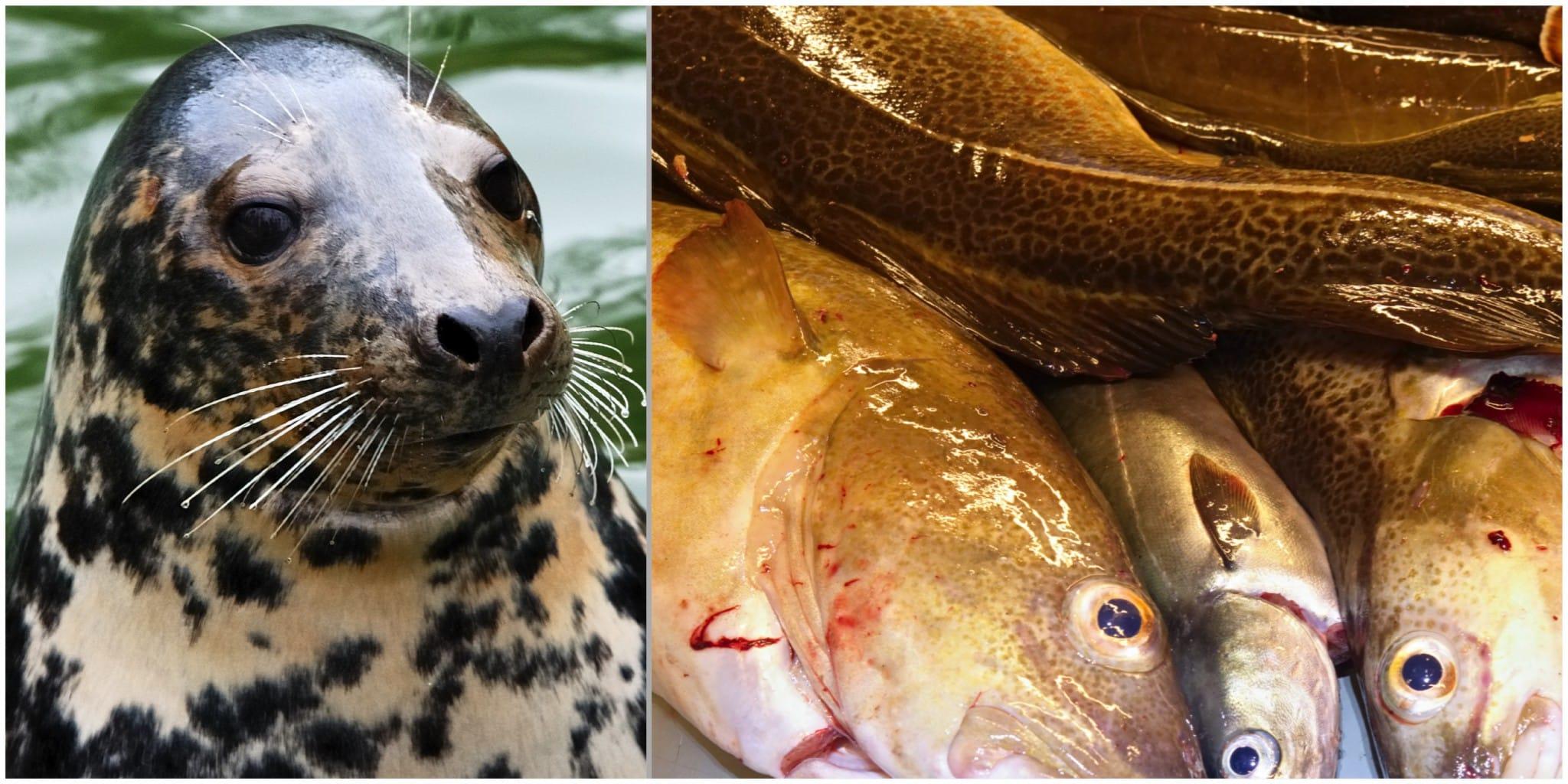Forskare vid Stockholms universitet anser att miljöförändringar och fiske har reducerat torskpopulationen mer än av vad sälarna gjort. Foto: Mostphotos