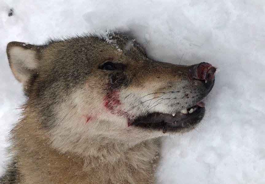 Länsstyrelsen fanns på plats för att försöka skrämma bort djuret från villaområdet, men olika händelser ledde fram till polisens beslut om avlivning.