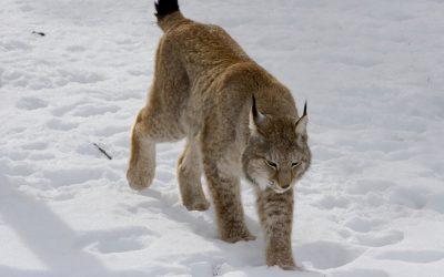 Lodjuren i Östergötland kan tassa ostörda när jakten drar igång 1 mars. Länsstyrelsen säger nej till Jägareförbundet Östergötlands begäran.