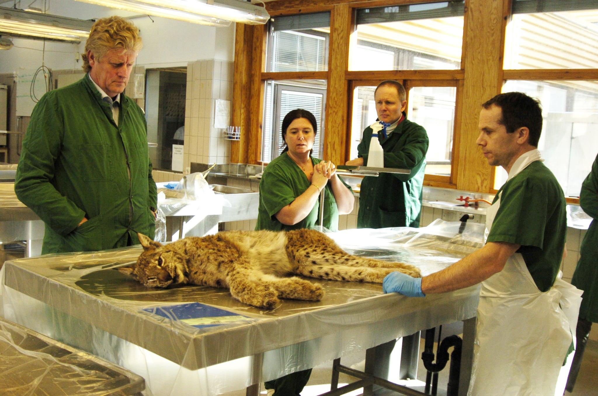 Veterinärer på SVA övervakar sjukdomsläget hos vilda djur. På bilden undersöks ett inskickat lodjur. Till vänster, statsveterinär Torsten Mörner, till höger chefen för viltsektionen Erik Ågren.