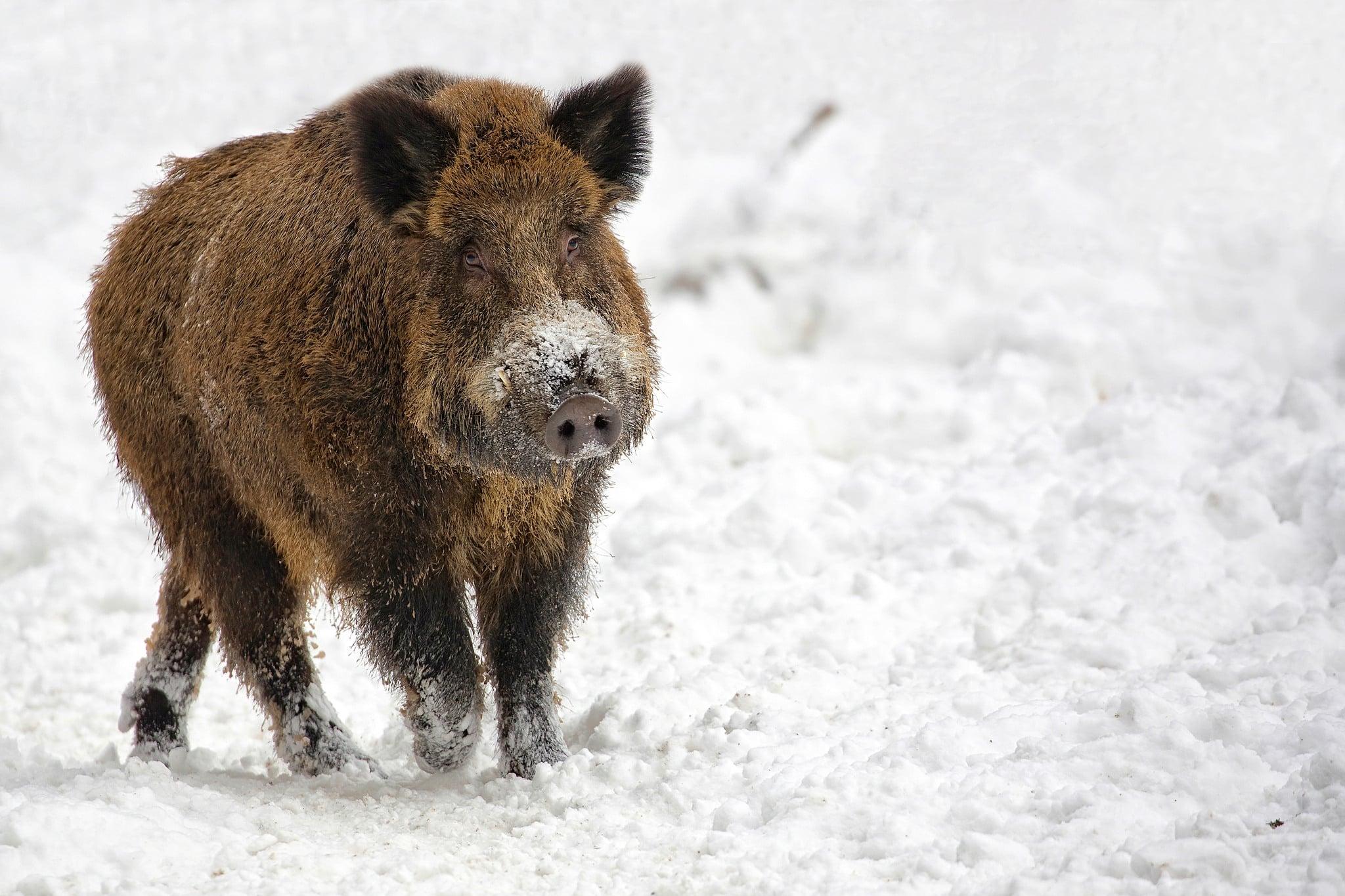 Övervakningen av afrikansk svinpest försvåras kraftigt efter att övergångsregeringen inte ger några pengar till SVA för viltövervakning.