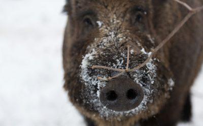 Om afrikansk svinpest bryter ut i Sverige är det med största sannolikhet vildsvin som drabbas först. Om insekter som suger blod från sjuka djur som hamnar i tamgrisars foder kan överföra viruset är oklart.