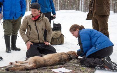 Foto i samband med en tidigare sövning av varg.