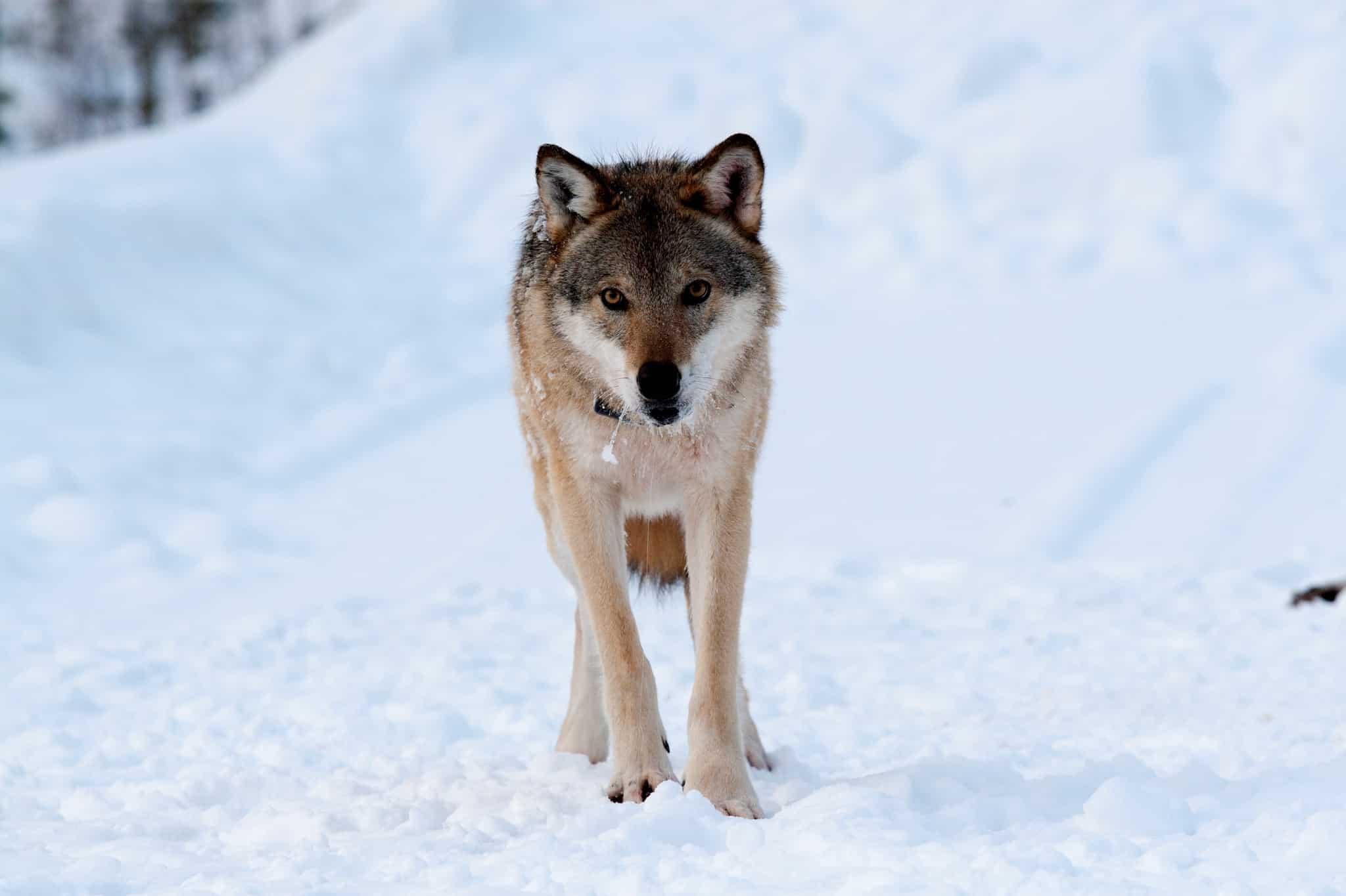 Skyddsjakten på en varg i Tossåsens sameby stoppas av domstol.