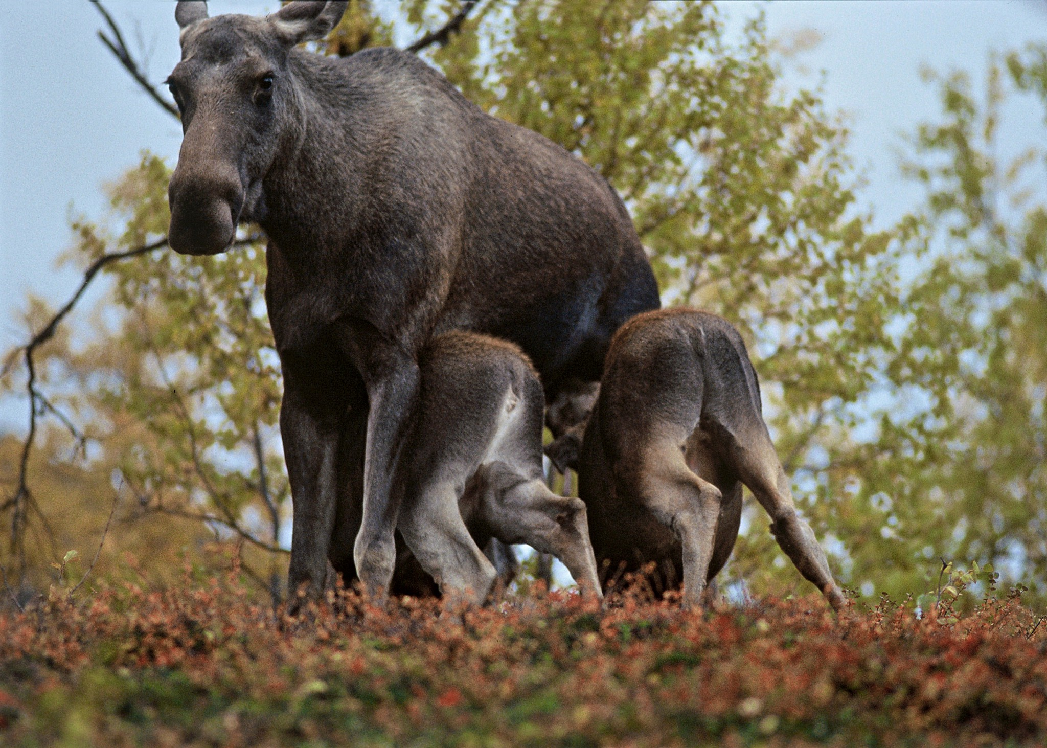 Älgstammen skulle fördubblas på tre år utan jakt. Foto: Kenneth Johansson