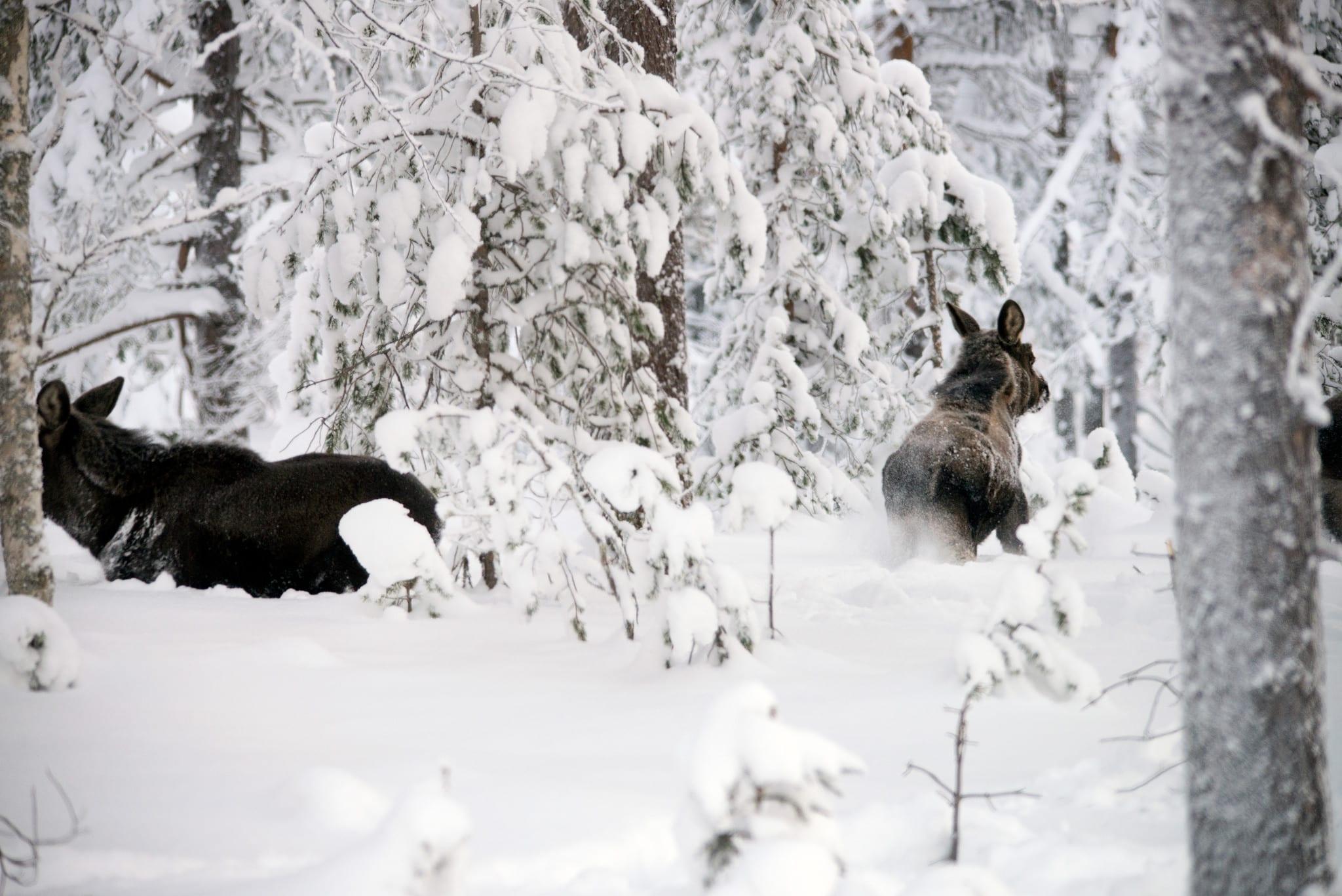 Holmen och Sveaskog överklagar länsstyrelsens nedbantade skyddsjaktbeslut på älg till Naturvårdsverket.