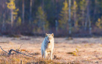 De danska forskarna ser inte hundiblandning i vargpopulationen som ett problem, eftersom icke ändamålsenliga hundegenskaper selekteras bort i naturen.