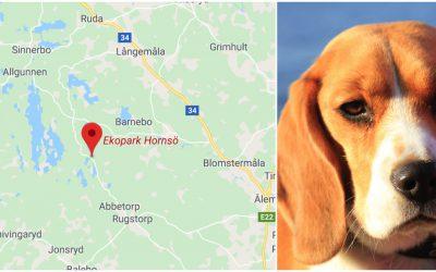 Beaglen dödades av varg i samband med rådjursjakt i Hornsö ekopark. Arkivfoto: Mostphotos