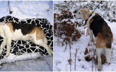 Sista dagen på rådjursjakten slutade i tragedi. Den pigga 14-åriga beaglen Nova som älskade att jaga dödades av varg. Foto: Privat