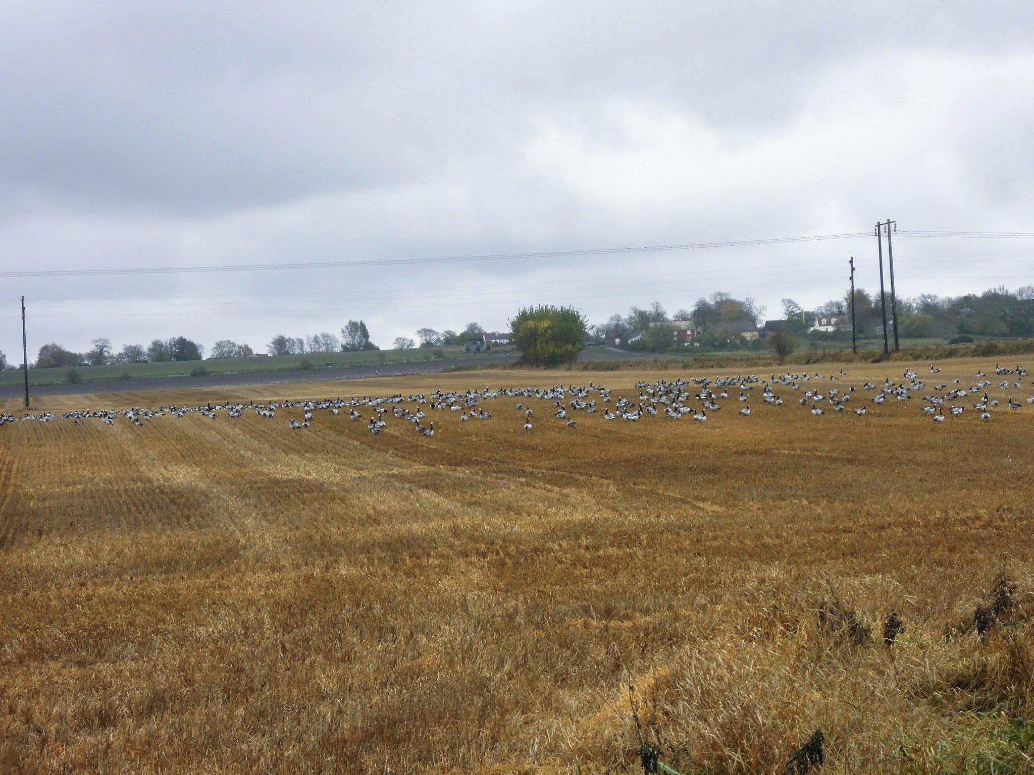 De vitkindade gässen fortsätter att öka och är ett växande problem för jordbruket. Foto: Bernt Karlsson