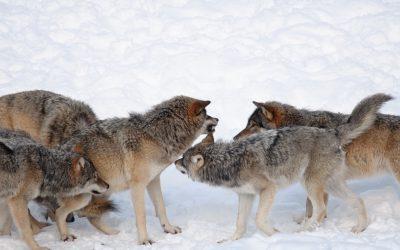 Vargarna kommer av allt att döma att tillåtas att bli ännu fler i de områden som redan har de högsta koncentrationerna av varg.