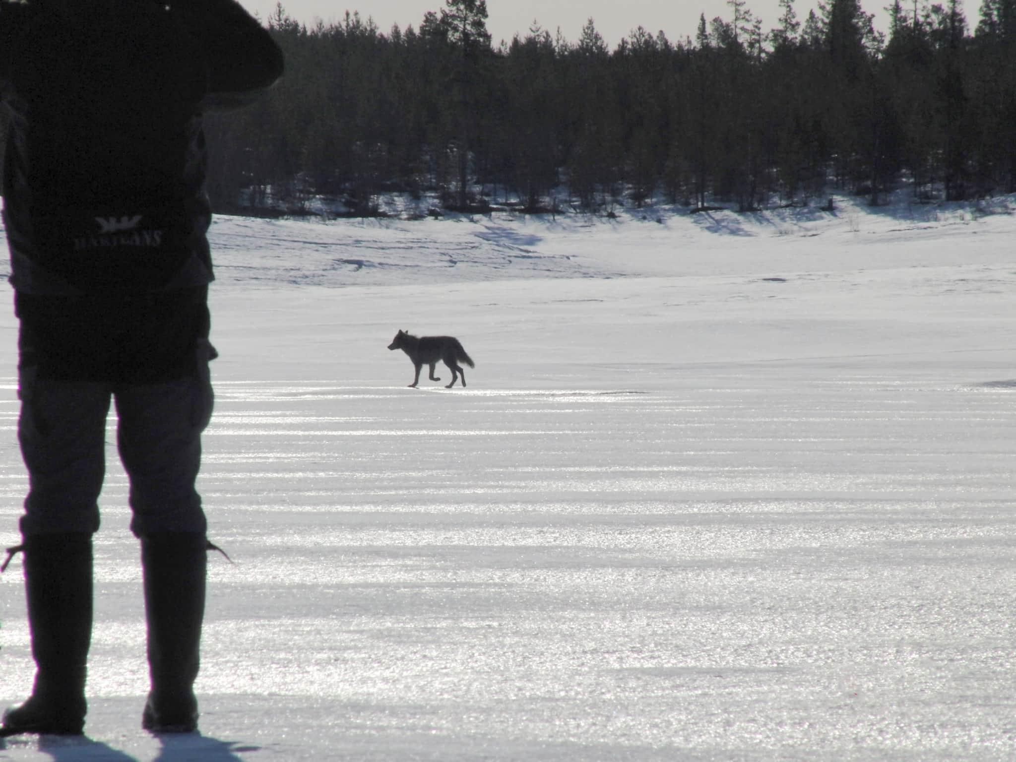 varg på is