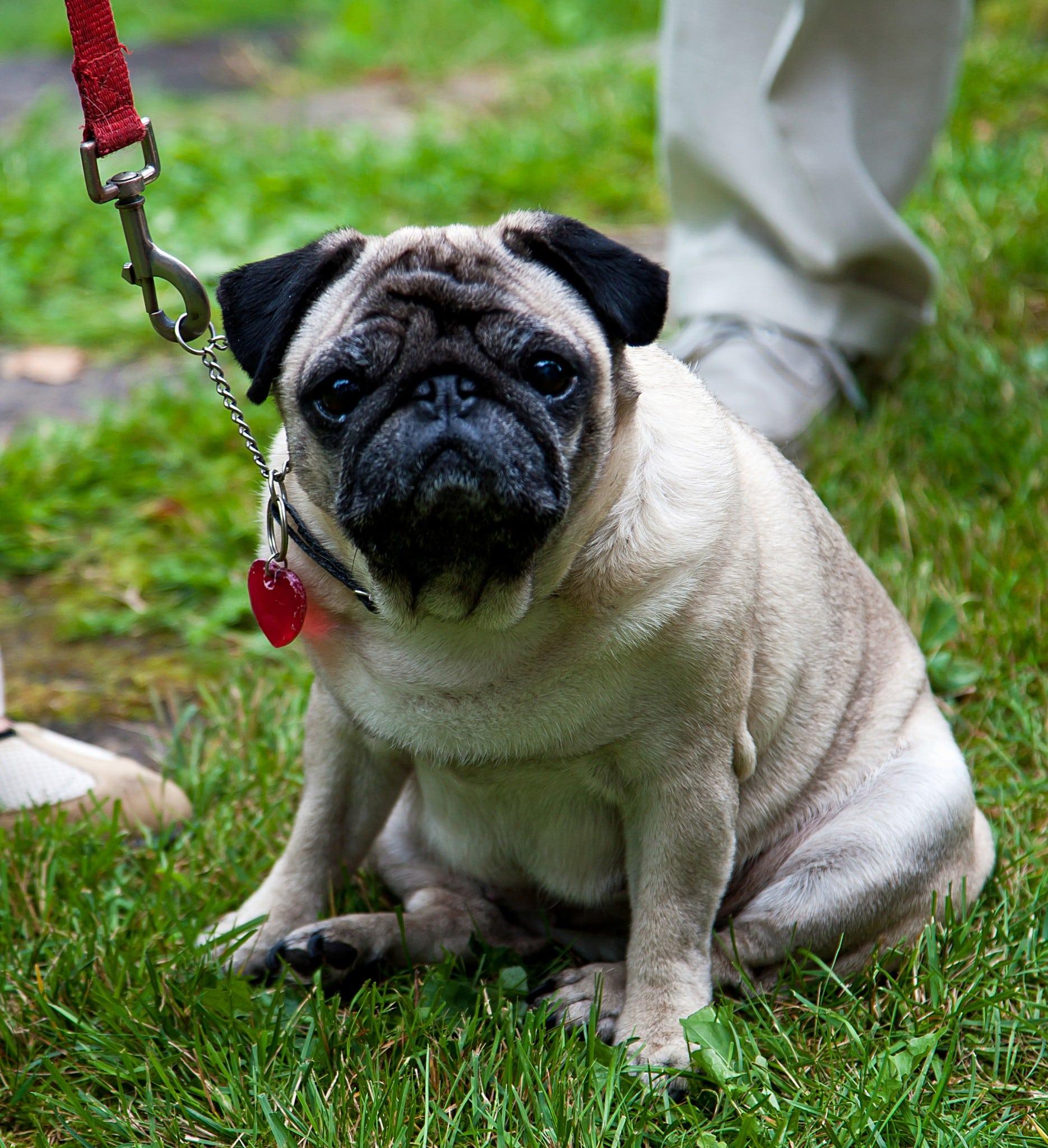 Länsstyrelsen Halland vill att hundarna hålls kopplad ei länets naturreservat. Foto: Mostphotos